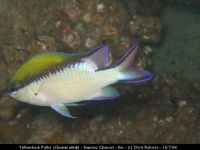 cr chromis nitida