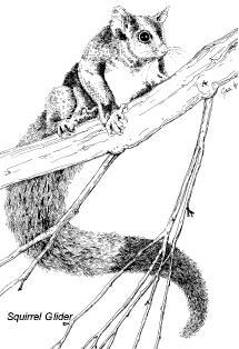squirrelglider.jpg
