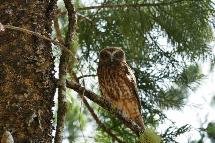 Jenny-Keep-Boobook-Owl-2016-08-22-and-12-13-04-1